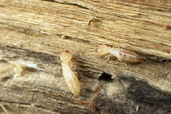 Termites : d'où viennent-elles et comment les éliminer ?