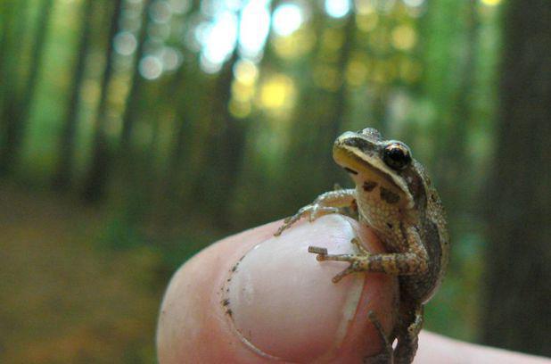 Insolite : au Québec, une grenouille de 2,5 cm empêche la construction de 171 logements